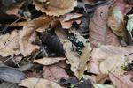 Green-and-black (mostly black) poison dart frog in Panama