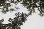 Red-throated guan [panama_0238]