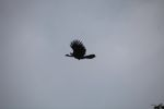 Red-throated guan in flight