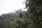 Slaty-tailed Trogon (Trogon massena) [panama_0260]