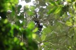 Baby spider monkey feeding in the rainforest canopy