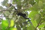 Baby spider monkey feeding in the rain forest canopy