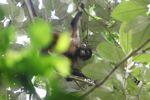 Female spider monkey [panama_0304]