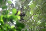 Female spider monkey