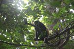 Howler monkey [panama_0311]