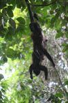 Holwer monkeys swinging from a vine [panama_0338]