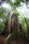 Kapok or Ceiba tree buttress roots
