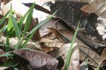 Delicate Ameiva (Ameiva leptophrys) [panama_0365]