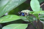Postman butterfly (Heliconius erato) [panama_0366]