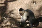 Capuchin monkey digging in dirt