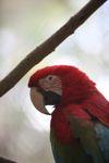 Red macaw [panama_0433]