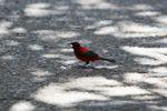 Bird [panama_0463]