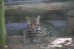 Ocelot (captive) [panama_0466]