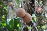 Cannonball seed