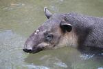 Baird's Tapir (Tapirus bairdii) [panama_0533]