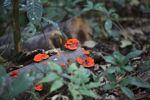 Fire orange fungi