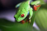 Red-eyed tree frog [panama_0567]