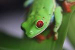 Red-eyed tree frog [panama_0568]