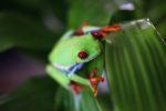 Red-eyed tree frog [panama_0570]