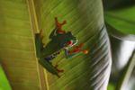 Red-eyed tree frog [panama_0572]