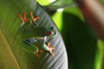 Red-eyed tree frog [panama_0573]
