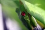 Red-eyed tree frog [panama_0579]