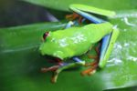 Red-eyed tree frog [panama_0584]
