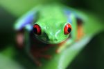 Red-eyed tree frog [panama_0588]