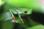 Red-eyed tree frog [panama_0589]