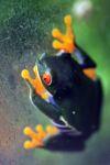 Red-eyed tree frog [panama_0590]