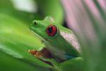 Red-eyed tree frog [panama_0597]