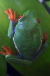 Red-eyed tree frog [panama_0598]