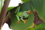Red-eyed tree frog [panama_0602]