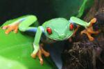 Red-eyed tree frog [panama_0607]