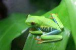 Red-eyed tree frog [panama_0608]