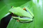 Red-eyed tree frog [panama_0610]