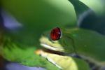 Red-eyed tree frog [panama_0611]