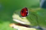 Red-eyed tree frog [panama_0612]