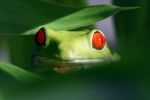 Red-eyed tree frog [panama_0614]
