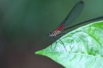 Magenta dragonfly