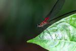 Magenta dragonfly [panama_0653]