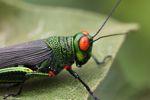 Orange-eyed grasshopper [panama_0684]