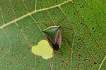 Green, yellow, brown, and black shield bug