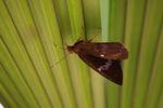 Skipper butterfly [panama_0751]