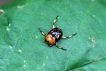 Orange and brown dung beetle [panama_0791]