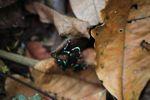 Green and Black Poison Dart Frog (Dendrobates auratus) [panama_0795]