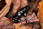 Wild Green and Black Poison Dart Frog (Dendrobates auratus)