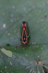 Orange and black planthopper [panama_0820]