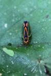 Halloween bug [panama_0823]