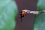 Orange and black bug [panama_0842]